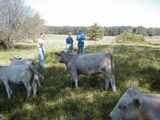 Cattle evaluation group at Spectrum Farm